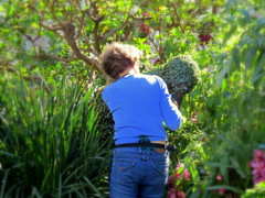 Trimming, Tucking, Tidying the Topiaries (Renee Rendler-Kaplan) Tags: she winter woman sunlight sunshine female canon topiary gbrearview gardening working apron indoors greenhouse northshore there glencoe greenery inside february bluejeans trimming botanicgarden employee gardener gapersblock wbez chicagobotanicgarden 2014 chicagoist tucking caughtmyeye tidying glencoeillinois fastidious reneerendlerkaplan canonpowershotsx40hs