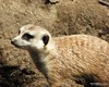 "MERKAT 155 (Dancing with Ghosts Graphics) Tags: copyright cute animal mammal meerkat pups small gang mob clan mongoose angola sentry suricate burrows suricatta desert"" diurnal 2013 fawncolored herpestid iteroparous ""kalahari ""namib debbrawalker feliform dancingwghosts ""suricata suricatta"" ""botswana"" oraging siricata"" majoriae"" iona"""
