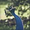 throw your head back (Black Cat Photos) Tags: blackcatphotos