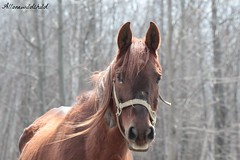 can you see his pain in his eyes, we are trying to give him better (allonewildchild) Tags: life horse eye nature farm country aged allonewildchild
