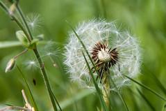 FOTO1355 (enno.korn) Tags: natur pflanze wiese blte lwenzahn pusteblume