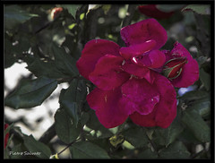 Time in rose (PietroEsse) Tags: flowers nature rose fiori castellammaredistabia canonpowershots3is