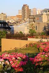 (Yorozuna / ) Tags: plant flower building japan tokyo shinjuku azalea