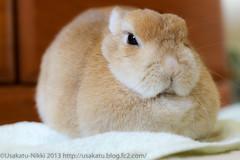 IMG_2816-1 (Rabbit's Album) Tags: cute rabbit bunny coco ペット 動物 うさぎ netherlanddwarf ココ ネザーランドドワーフ うさかつ日記 canonx7i キャノンx7i