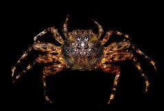 Plagusia depressa (j_vera_a_c) Tags: crab caribbean crustacea cangrejo depressa decapoda crustaceos nuevaesparta plagusia venezuelacaribeatlantico plagusinae