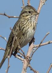 Bird Viewing Preserve_Henderson (JME_Photos) Tags: nature birds canon wildlife nevada sparrow henderson 400mm