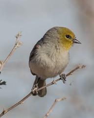 Bird Viewing Preserve_Henderson (JME_Photos) Tags: nature birds canon wildlife nevada henderson 400mm verdin