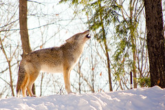 Howling Coyote (~Bella189) Tags: