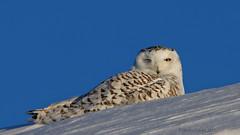 Clin d'oeil. /  Wink. (mariolavoiee) Tags: snowy des owl neiges harfang