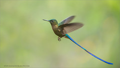 Violet-tailed Sylph (Raymond J Barlow) Tags: travel bird ecuador hummingbird wildlife violet adventure workshop birdinflight raymondbarlowphototours