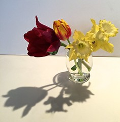 Grace Notes  IMG_1169 (kluehirschSnowpine) Tags: flowers light red water glass yellow shadows daffodils gulp