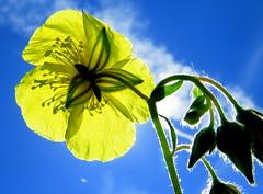IMG_0044x (gzammarchi) Tags: italia colore natura giallo fiore montagna paesaggio monti cisto inalto cistusicanus firenzuolafi