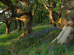 Old Oaks and Bluebells (tony marfell) Tags: bluebells woodland oak woods ceredigion rspb ynyshir