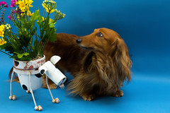 Ah, the fake smell of fake Flowers! (ChrisM 75) Tags: flowers dogs spring bluesteel dashchund minidashchund spring2016