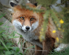 Camo fox (Janet Marshall LRPS) Tags: fox vulpes explored britishwildlifecentre