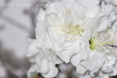 White and silky / Blanca y sedosa (suominensde) Tags: white plant flower planta blanco nikon blossom bokeh outdoor pastel flor smooth depthoffield suave silky sedosa d5300
