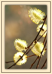 Willows & Light (bigbrowneyez) Tags: flowers light nature fantastic soft pretty bokeh details softness pussy fluffy sunny natura willow gift precious frame fancy lovely elegant delicate sole regalo luce delightful fascinating cornice pussywillows pussywillowtree willowlight