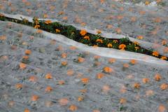 De zon breekt door (Moser's Maroon) Tags: zwolle oranje kou koud afrikaantjes sassenpoort koningsdag