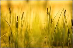 Meditative Relaxing (HikerandBiker) Tags: light see licht spring background northsea nordsee schilf farben frhling hintergrund seegras unschrfe canonef24105mmf4lisusm traumflieger warmefarben sonyalpha7 sonya7 ilce7 traumfliegeradapter