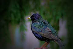 Common starling (Sturnus vulgaris) (ritchie.zelk) Tags: urban backyard starling common vulgaris sturnus