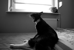 Roar! (Giannis Samartzis) Tags: light bw motion cat blackwhite nikon king lion poland polska 1855 roar poznan d60