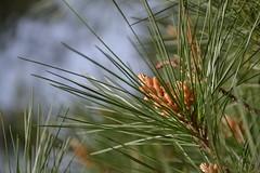 Virginia Water (Ewout van Sabben) Tags: green nature spring nikon no filter needles spar