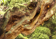 Demonic (Nobby1968) Tags: wood old tree face forest scary character puzzle demon yew