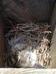 feathers (jessamyn) Tags: nest feathers westport westportma townfarm