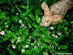 Dr. Takeshi Yamada and Seara (Coney Island Sea Rabbit) in the Pine Barrens of New Jersey during the Jersey Devil Expedition on June 20, 2016. flowers.  20150620 031=-6060== (searabbits23) Tags: ny newyork sexy celebrity rabbit art hat fashion animal brooklyn asian coneyisland japanese star tv google king artist dragon god vampire manhattan famous gothic goth uma ufo pop taxidermy vogue cnn tuxedo bikini tophat unitednations playboy entertainer oddities genius mermaid amc mardigras salvadordali performer unicorn billclinton seamonster billgates aol vangogh curiosities sideshow jeffkoons globalwarming mart magician takashimurakami pablopicasso steampunk damienhirst cryptozoology freakshow leonardodavinci seara immortalized takeshiyamada roguetaxidermy searabbit barrackobama ladygaga climategate  manwithrabbit