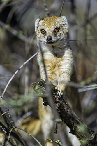 Yellow mongoose in the tree