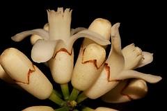 Dysoxylum parasiticum (andreas lambrianides) Tags: australianflora australiannativeplants meliaceae arfp australianrainforests australianrainforestplants qrfp australianrainforestflowers arfflowers dysoxylumparasiticum cyrfp yellowmahogany meliaparasitica epicharisschiffner