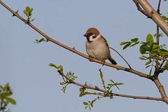 Tree-Sparrow-male_w_3091 (Stephen Daly) Tags: woodland sparrow romania cultivation passermontanus eurasiantreesparrow
