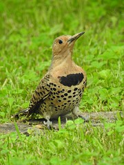 Northern Flicker (Tom & Colleen Becker) Tags: woodpecker kentucky caseycounty northernflicker tombecker nofl