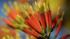 Mistletoe (judith511) Tags: mistletoe parasiticplant naturethroughthelens