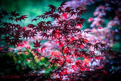 Crimson (Scott (Smiley)) Tags: west gardens japanese maple michigan cranbrook bloomfield 2016
