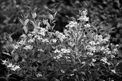 Bloom (Yuli Mitsner) Tags: flowers blackandwhite bw ontario canada green nature monochrome leaves fauna evening maple backyard bloom 135mmf2