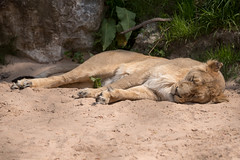 Photo of Asiatic Lion