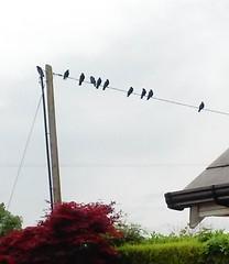 20160614_184050 (EadaoinFlynn) Tags: ireland bird wire gathering murder crow wexford corvid