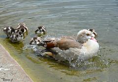The Serpentine Splash (Eleanor (No multiple invites please)) Tags: london goose goslings hydepark waterdrops theserpentine egyptiangoose egyptiangoslings nikond7100 may2016