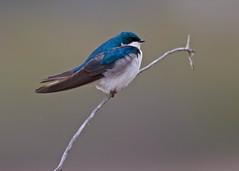 Tree Swallow (Tachycineta bicolor) 0F3A5202 (Dale Scott.) Tags: albertacanada treeswallow tachycinetabicolor loisholecentennialprovincialpark stalbertaalberta johnepoolewetland