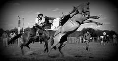 Chico Sol (Eduardo Amorim) Tags: brazil horses horse southamerica brasil criollo caballo cheval caballos cavalos pferde cavalli cavallo cavalo gauchos pferd riograndedosul pampa hest hevonen campanha brsil chevaux gaucho  amricadosul bag fronteira hst gacho  amriquedusud  gachos  sudamrica suramrica amricadelsur  sdamerika crioulo caballoscriollos criollos jineteada   americadelsud gineteada  crioulos cavalocrioulo americameridionale caballocriollo eduardoamorim cavaloscrioulos