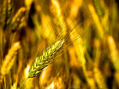 Wheat (Alejandro Hernndez Valbuena) Tags: plants plant detail nature field yellow closeup rural bread gold golden close natural farm wheat details country farming grain cereal harvest grow seed straw ears seeds growth crop ear fields crops produce growing grains agriculture cereals agricultural ripe harvesting cultivate