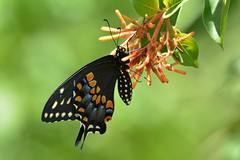 Black Swallowtail DSC_0504 (blthornburgh) Tags: nature butterfly garden outdoors backyard florida swallowtail blackswallowtail easternblackswallowtail thornburgh