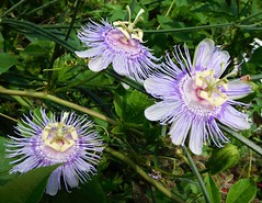 Maypops (Just Back) Tags: blue white sc floral petals perfect colorful purple display stripes cream southcarolina style vine stamens pistil southern climbing carolina bloom passiflora passifloraceae complete attraction pollination sepals johnsisland androecium gynoecium