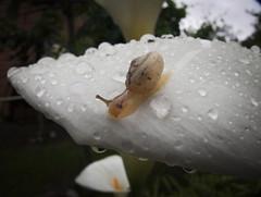 Lumaca su calla (mac89cam) Tags: white flower nature rain yellow landscape drops calla snail natura calm trail giallo fiore lumaca pioggia bianco calma aftertherain paesaggio velvety scia dopolapioggia cocce vellutato
