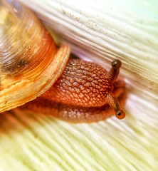 My Eye's on You (tisatruett) Tags: macro eye look animal eyes looking slow wildlife shell snail slimy mollusk slowingdown