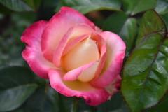 Intense.....Rose (stevelamb007) Tags: flower color nature beautiful beauty rose garden intense nikon rosa chicagobotanicgarden nikkor18200mm stevelamb flickriver d7200