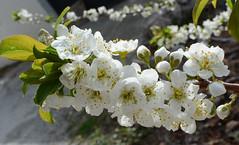 En flor (GonzalezNovo) Tags: granada jete bodijar pwmelilla flordemelocotón