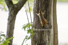 IMG_4610eFB (Kiwibrit - *Michelle*) Tags: tree grass birds woodpecker squirrel maine feeder chipmunk monmouth 2016 061916