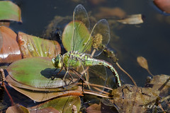 Anax imperator (puesta.1) (alvarof.polo) Tags: anaximperator liblulas anispteros dragonflies puesta ovopositing ovoposicin aeshnidae